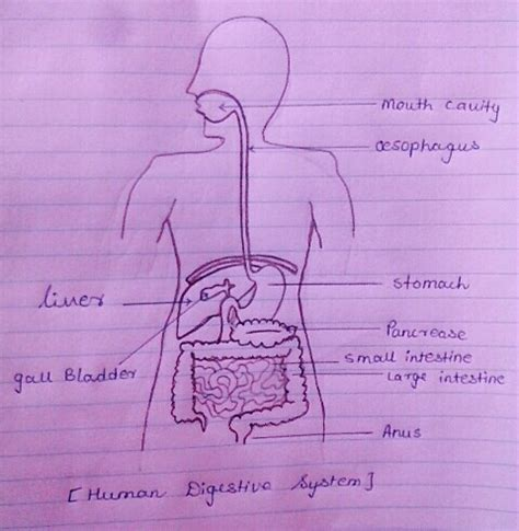 Easy Steps to Draw Human Digestive System [Class 10 NCERT