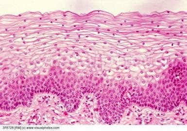 Epithelial Tissue - Anatomy And Physiology with Dave
