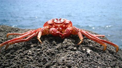 Dreaming about Crabs: everything you need to know