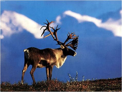 Reindeer Facts - Animal Facts Encyclopedia