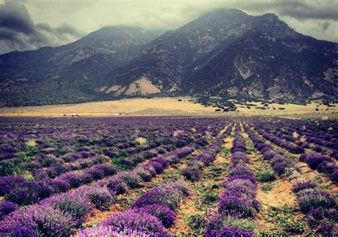 The Young Living Lavender Farm: A Must-See In Utah
