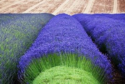 What Are The Most Profitable Lavender Varieties